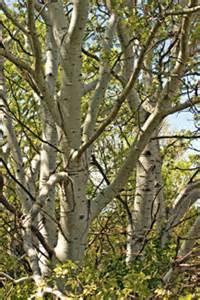 hybrid poplars 2