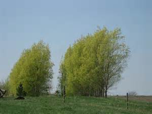 hybrid willows