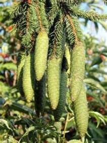 norway spruce 3