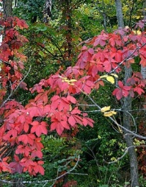 virginia-creeper-autumn-foliage