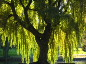 weeping-willow-2