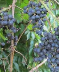 wild grape 3