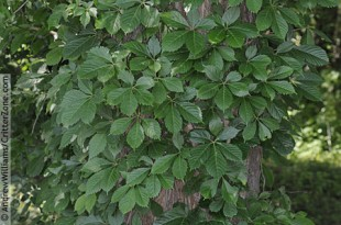 woodbine-growing-on-tree-AWPL0604110-059